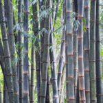 Blauer Bambus im Garten