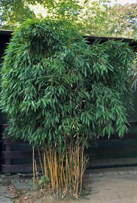 Bambuspflanze im Garten