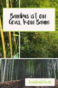 Bambus ist ein Gras - Infobild
