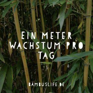 Bambus wächst einen Meter pro Tag - Text auf Bambus Bild