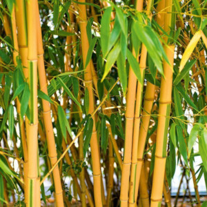 Rohrbambus im Garten